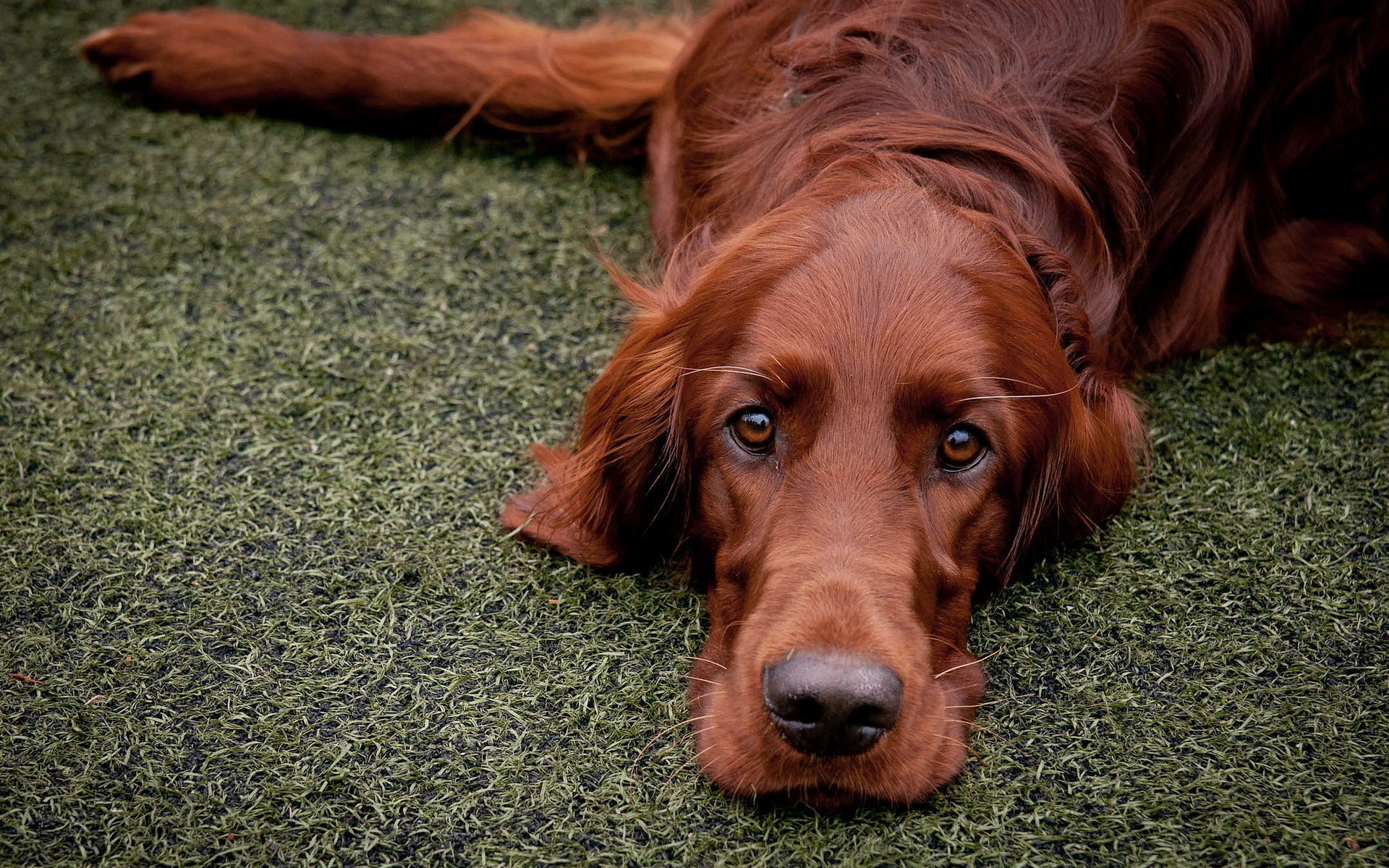 irish setters wallpaper download - photo #22