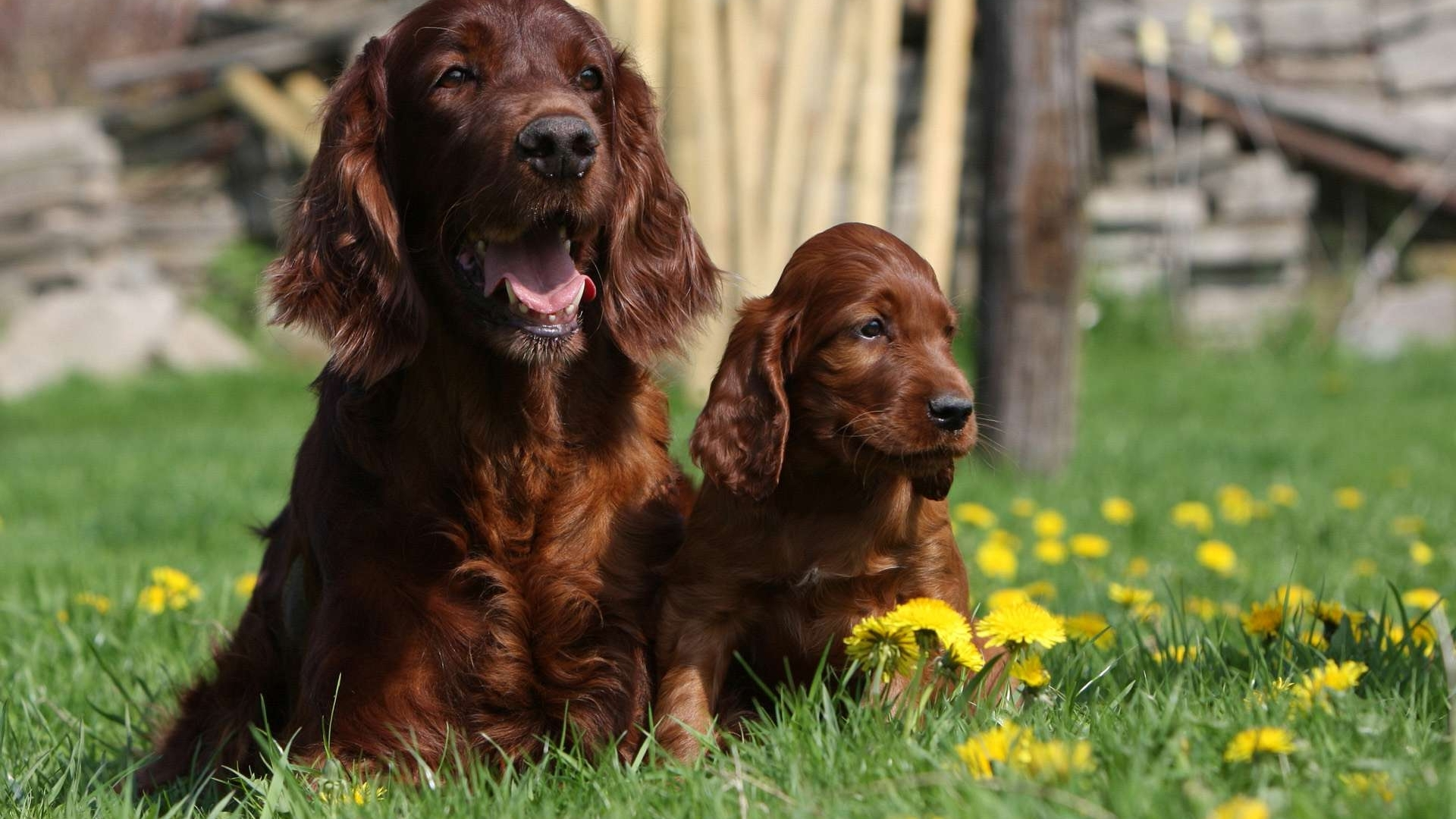 irish setters wallpaper download - photo #15
