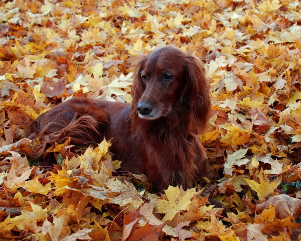 irish setter dog pictures wallpapers