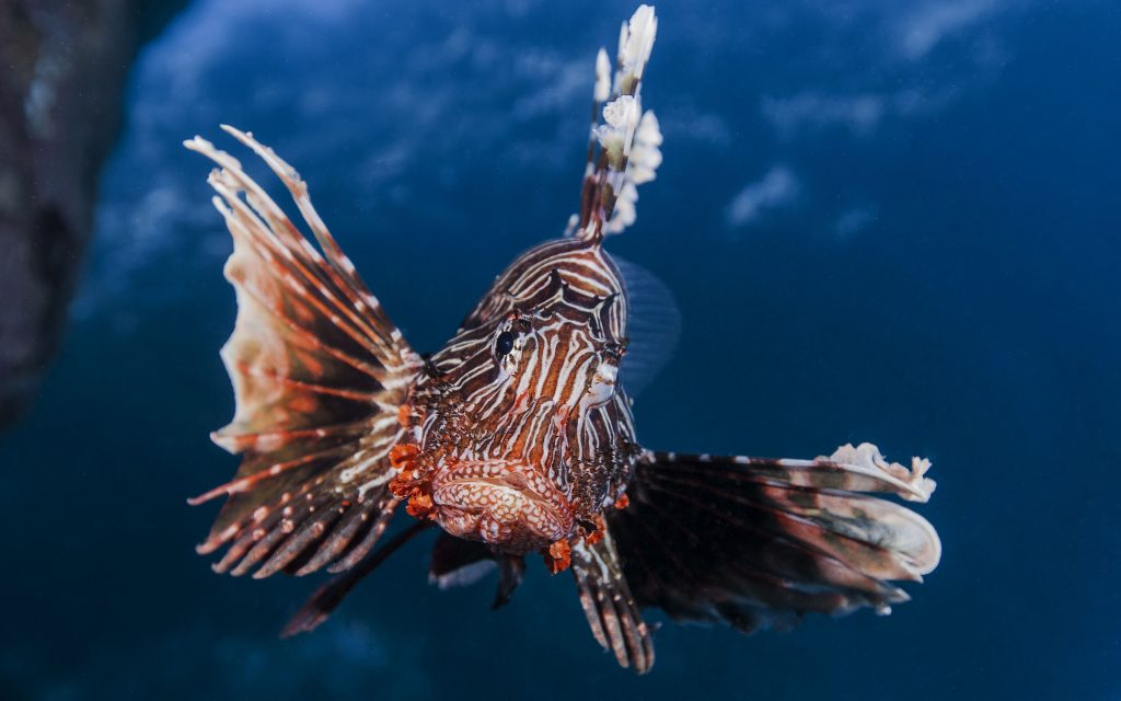 lionfish close up wallpapers