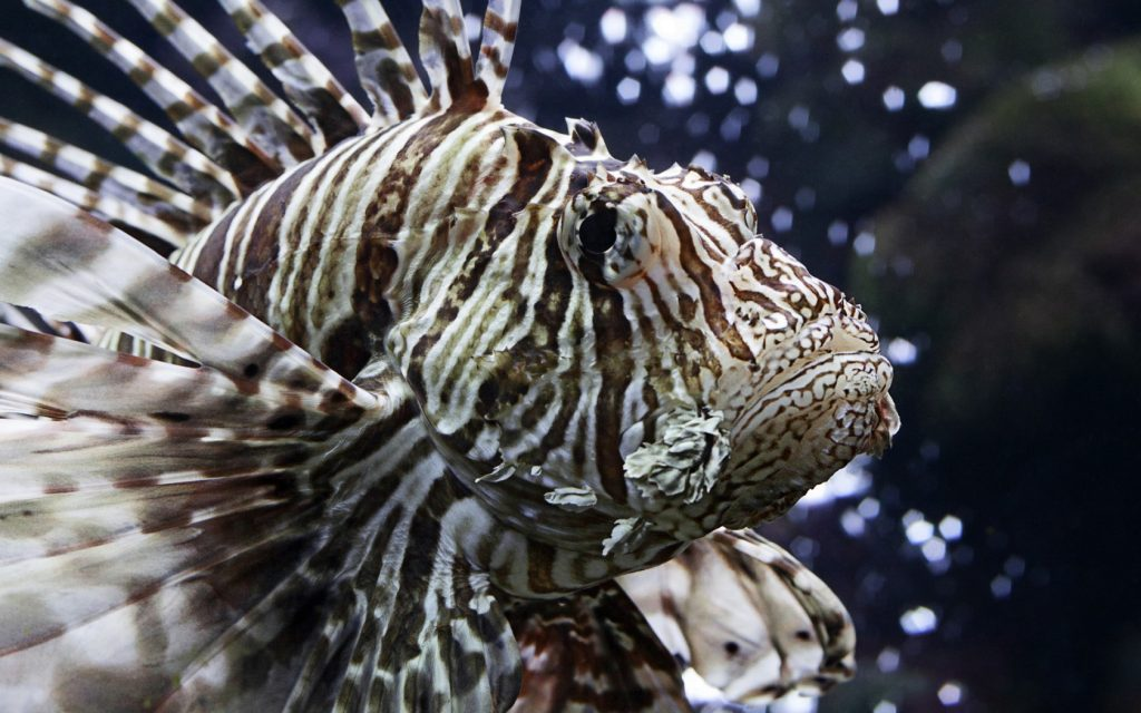 lionfish computer wallpapers