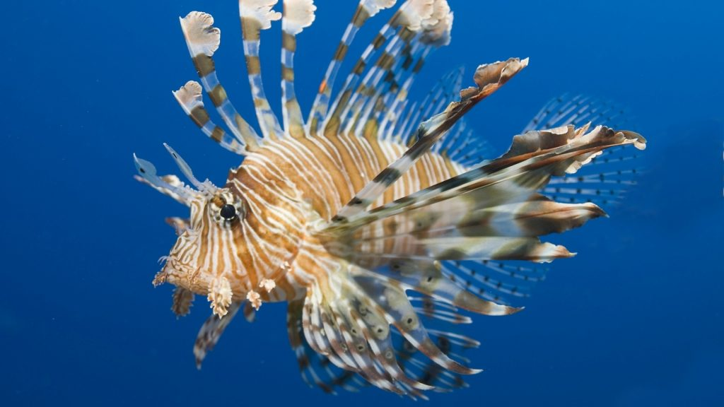 lionfish desktop wallpapers