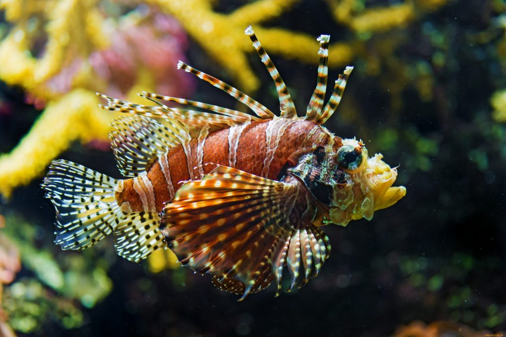 lionfish widescreen pictures wallpapers
