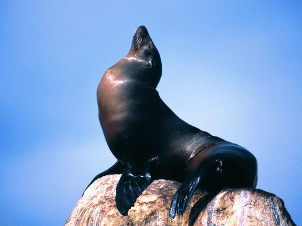 sea lion wallpapers