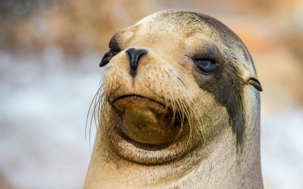 Sea Lion Face Wallpapers