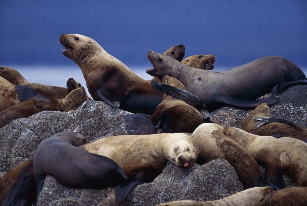 sea lion background wallpapers