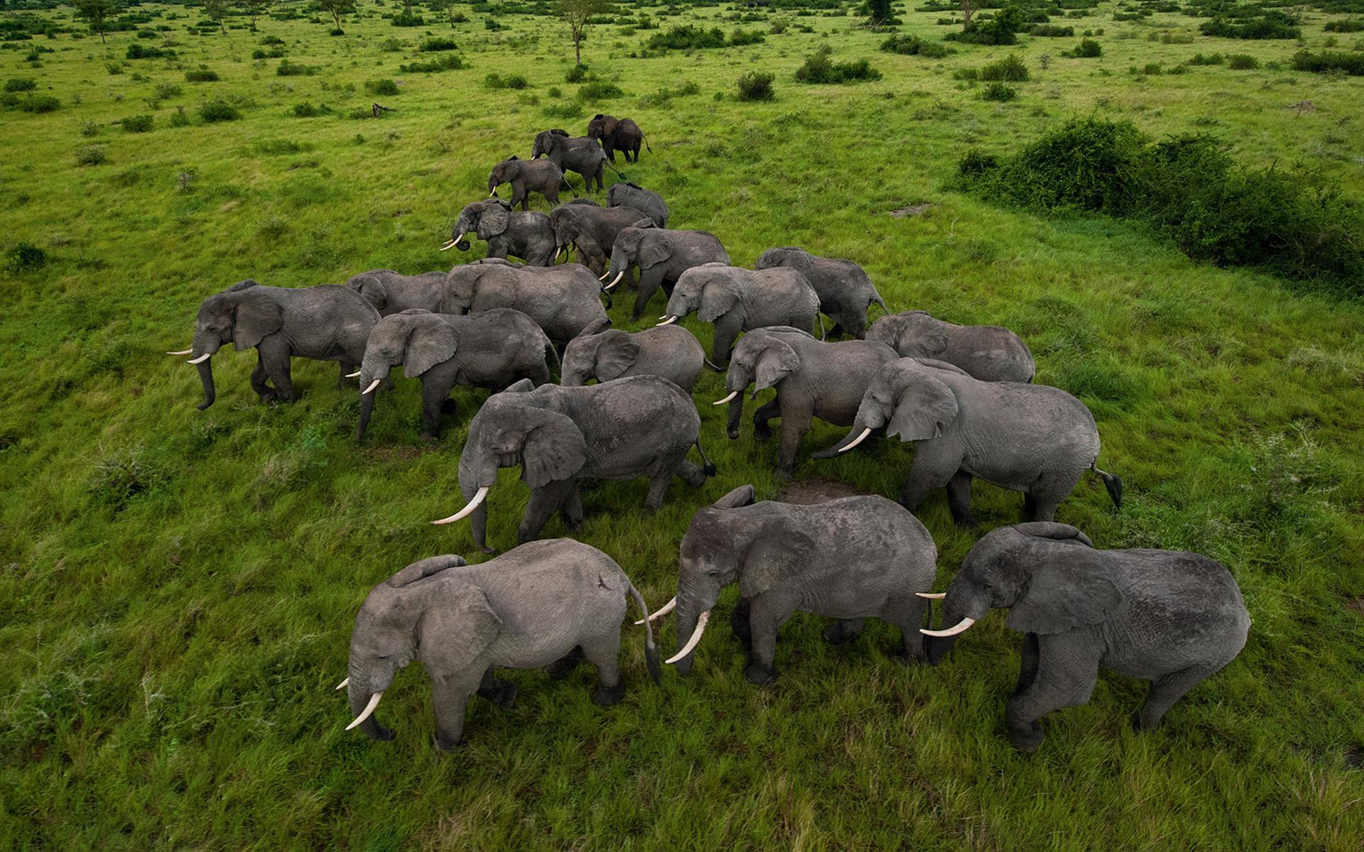 Elephants Herd Tree Mount Kilimanjaro, Kenya Beautiful Wallpaper ...