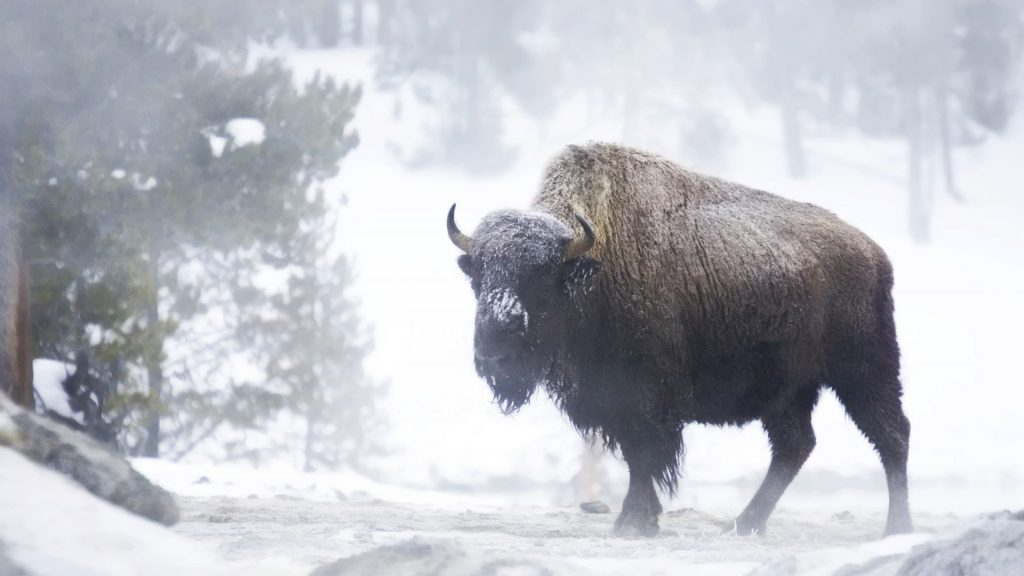 bison winter wallpapers