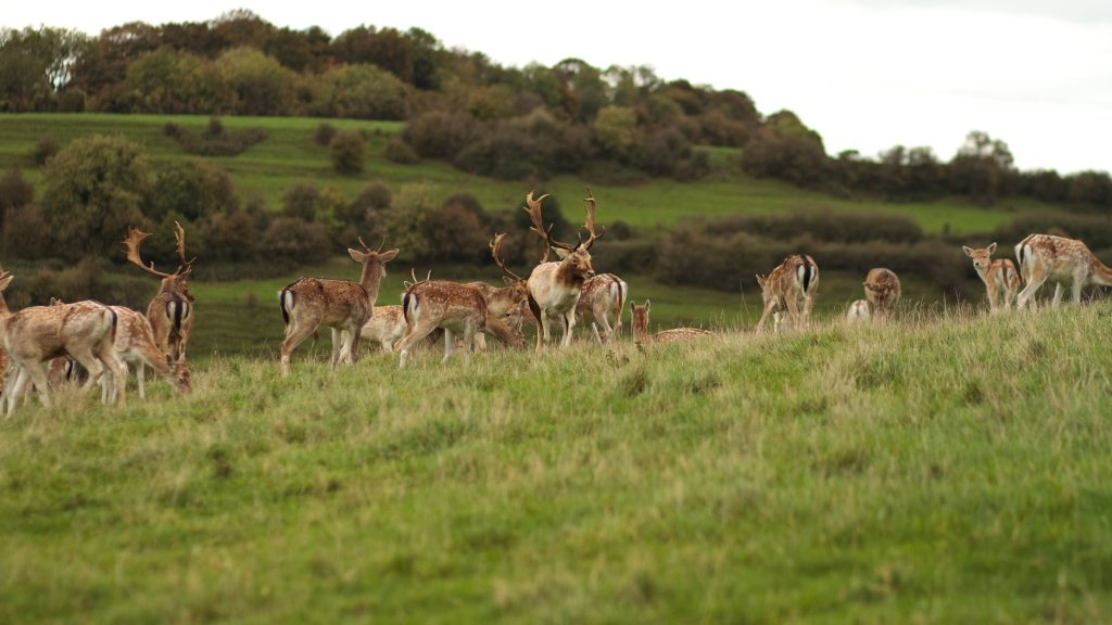 deer herd wide wallpapers