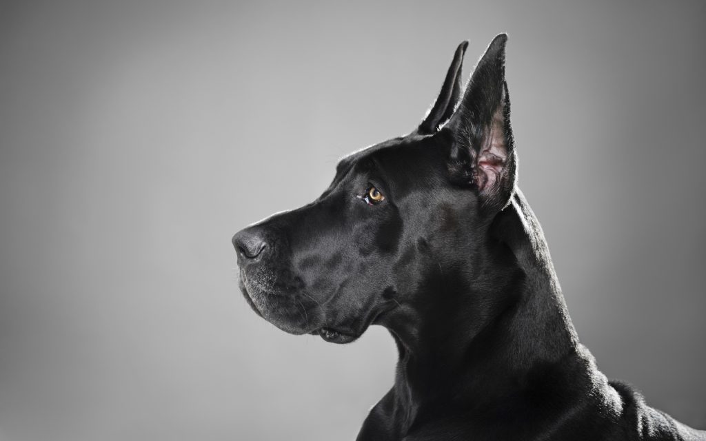great dane dog wallpapers