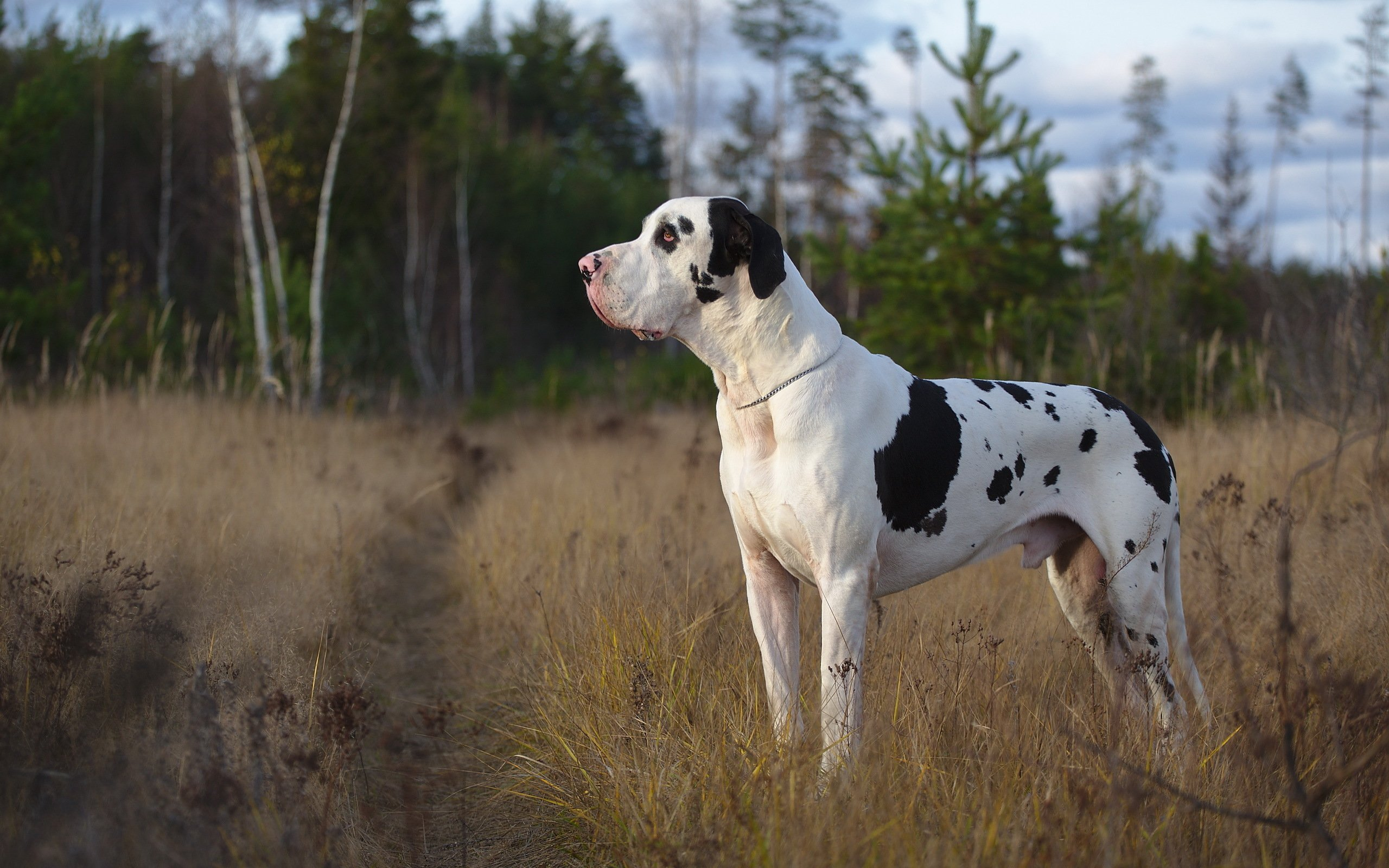 Great Dane Dog Wallpapers: 7 HD Great Dane Dog Wallpapers