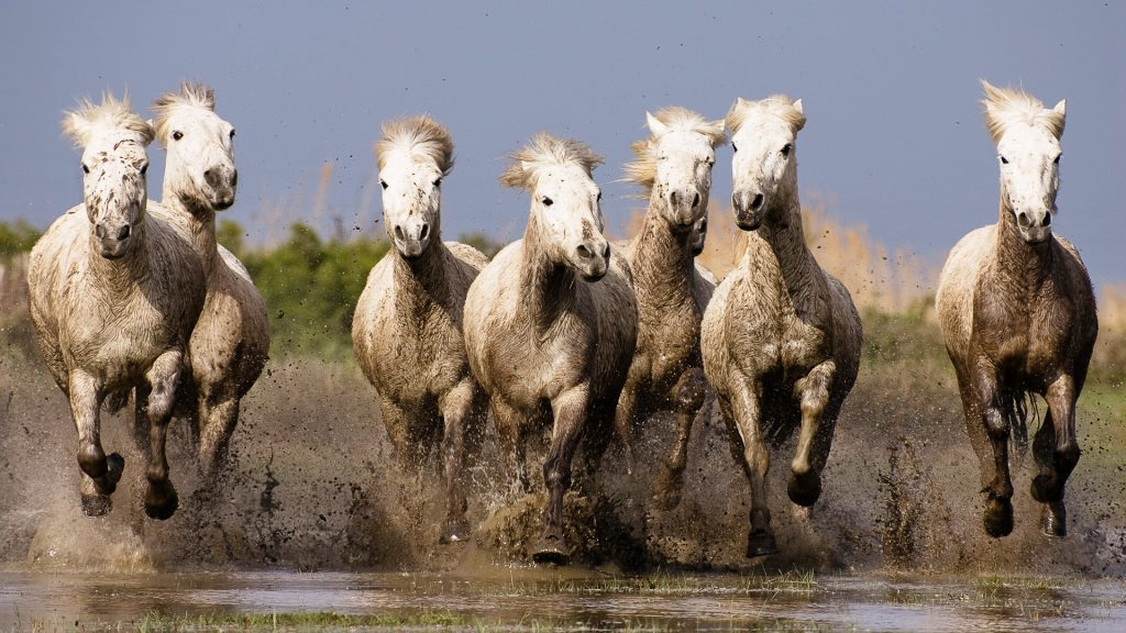 horse herd wallpapers