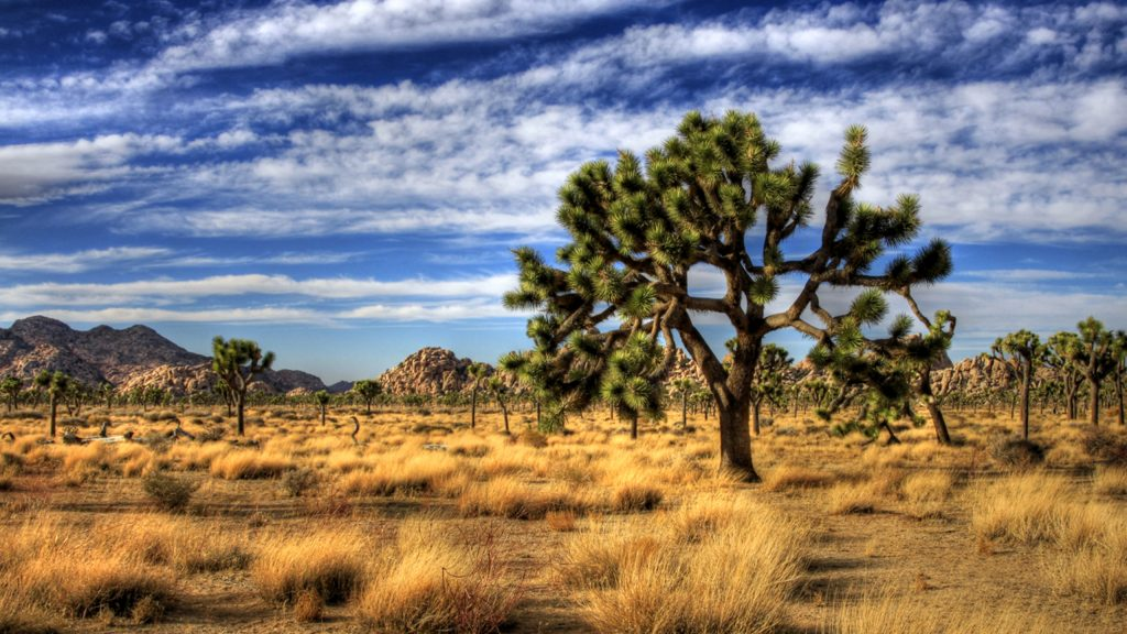 joshua tree widescreen wallpapers