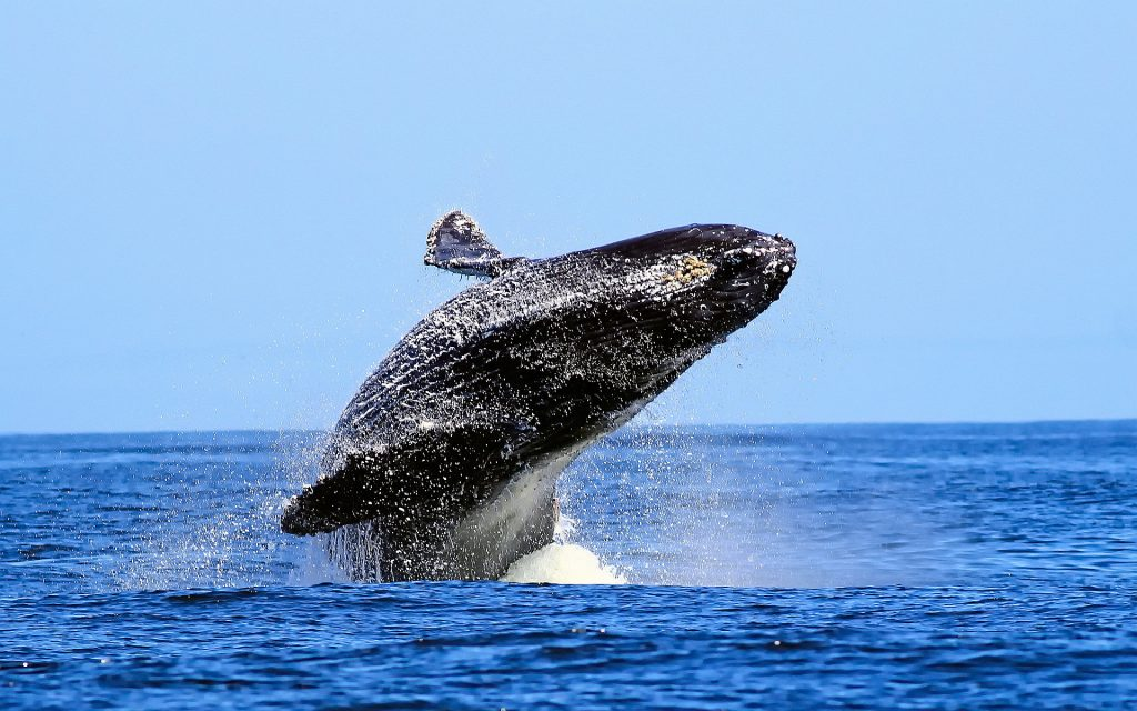 whale animal desktop wallpapers