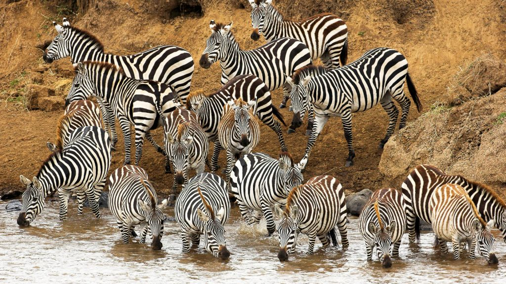 zebra herd wallpapers