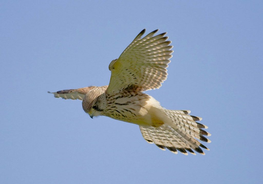 kestrel bird computer wallpapers