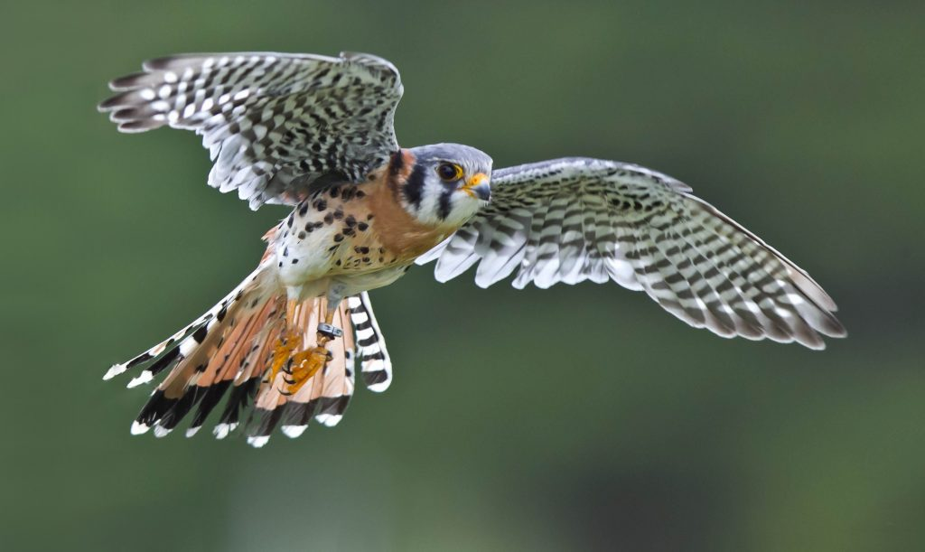 kestrel bird flying wallpapers