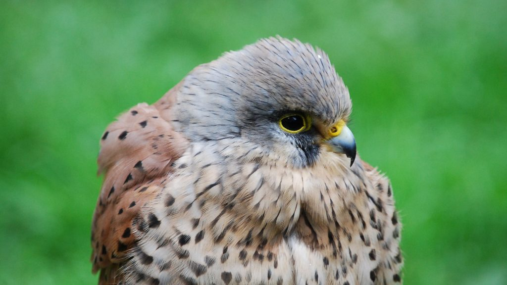kestrel bird widescreen wallpapers
