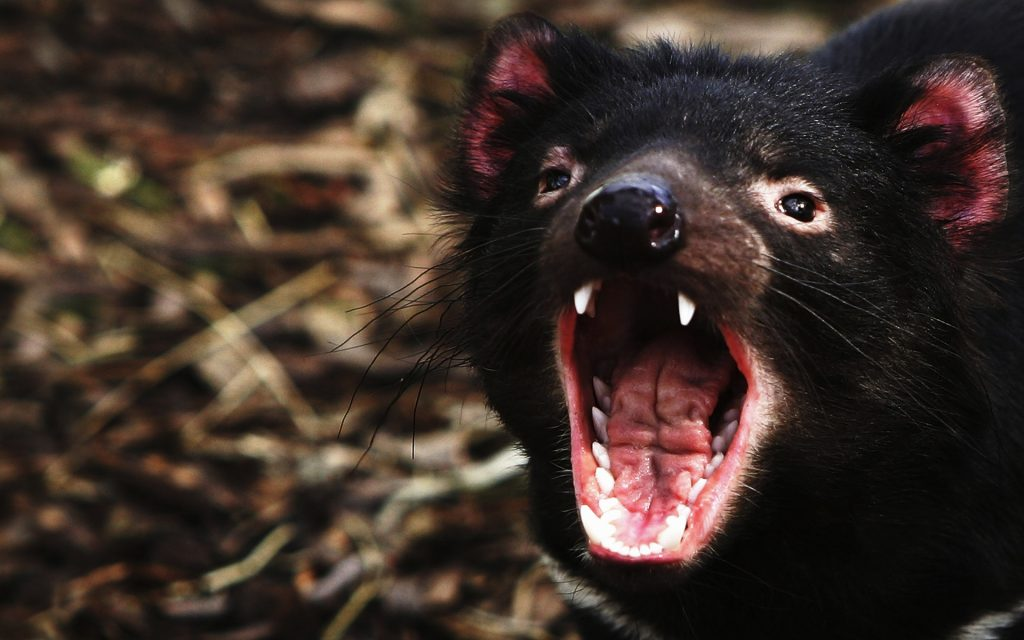 Tasmanian Devil Wallpapers
