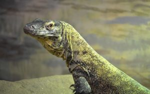 Komodo Dragon Wallpapers