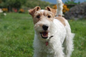 Terrier Dog Wallpapers