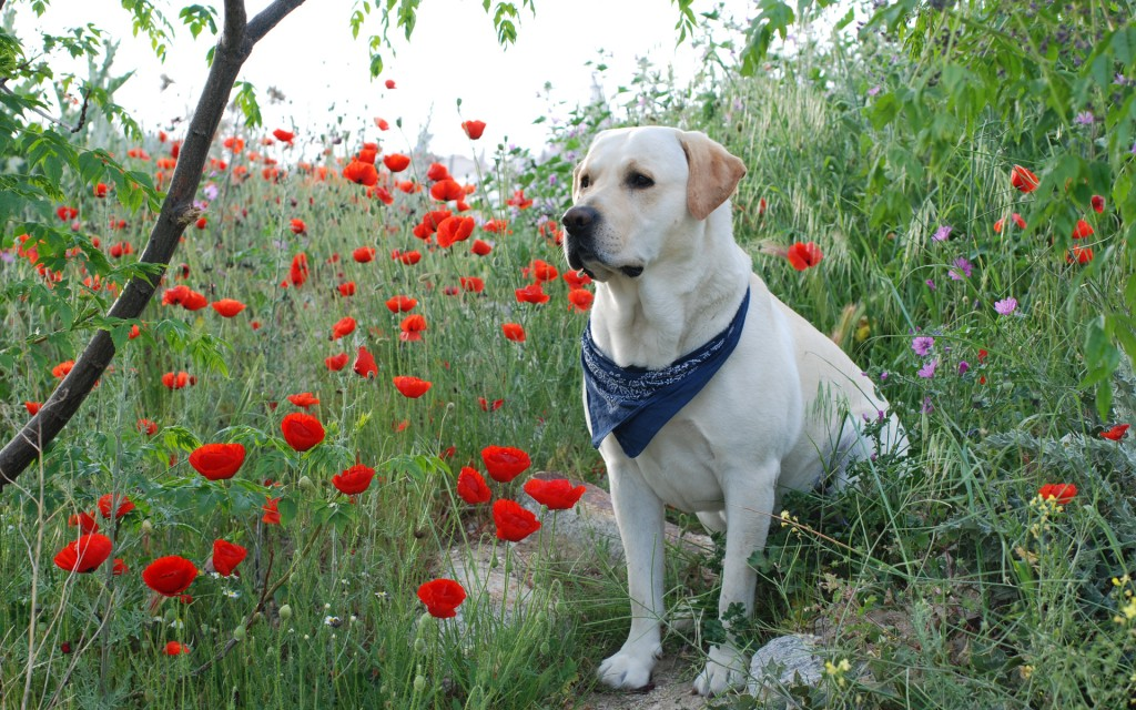 adorable-labrador-23491-24143-hd-wallpapers