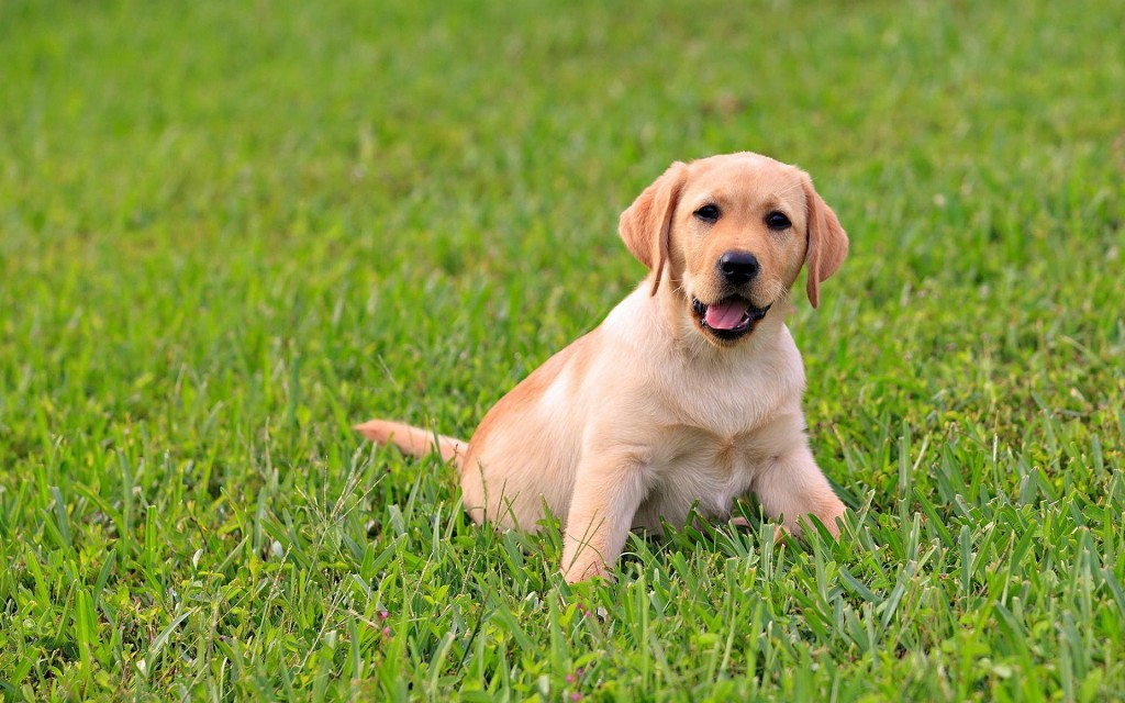 adorable-labrador-wallpaper-23487-24139-hd-wallpapers