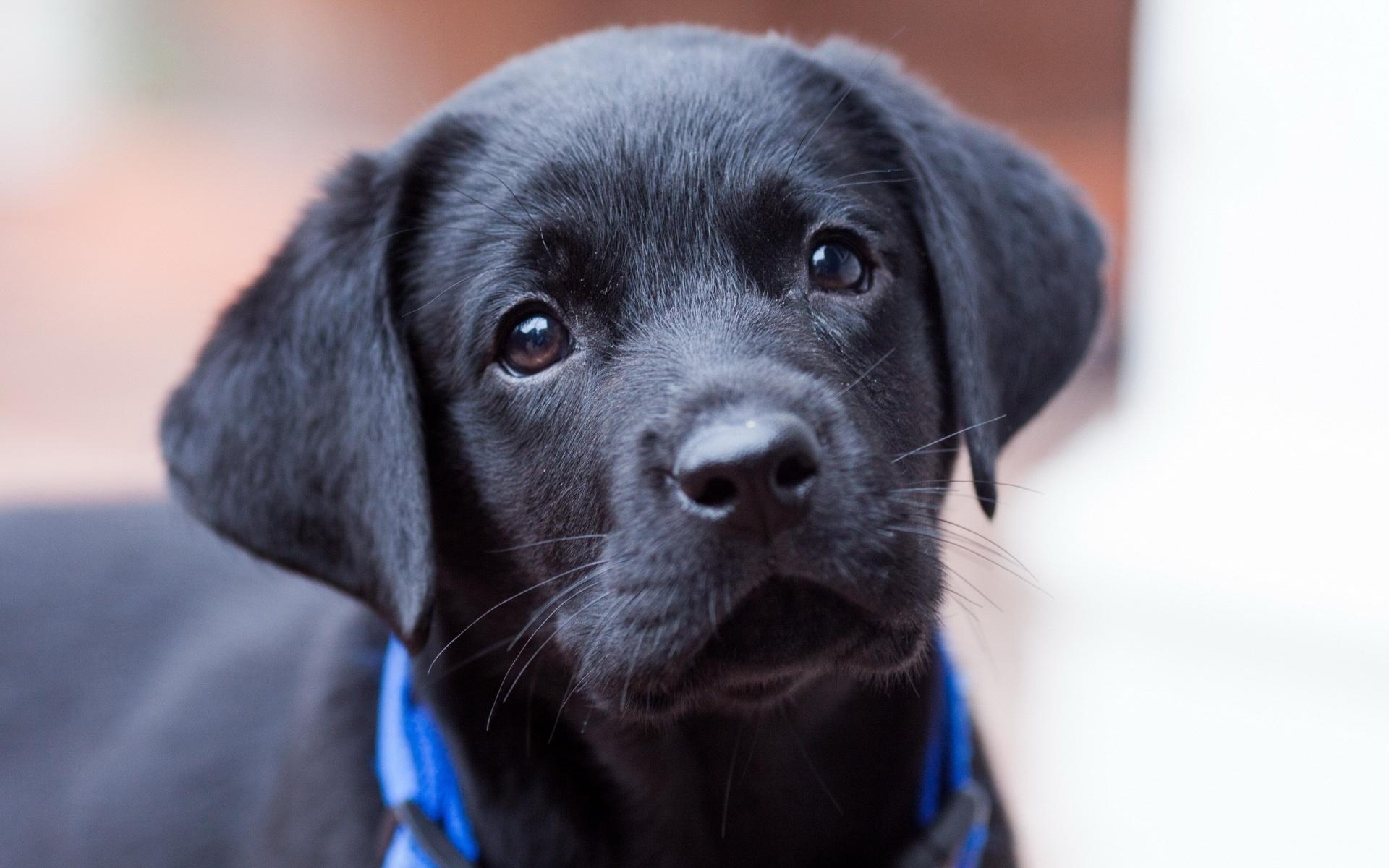 Labrador Retriever 4 Sale 12 Fantastic HD Labrad...