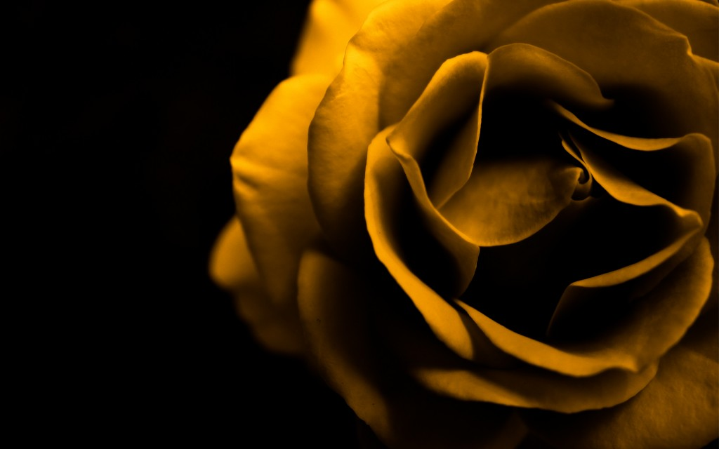 cool-yellow-roses-29681-30400-hd-wallpapers