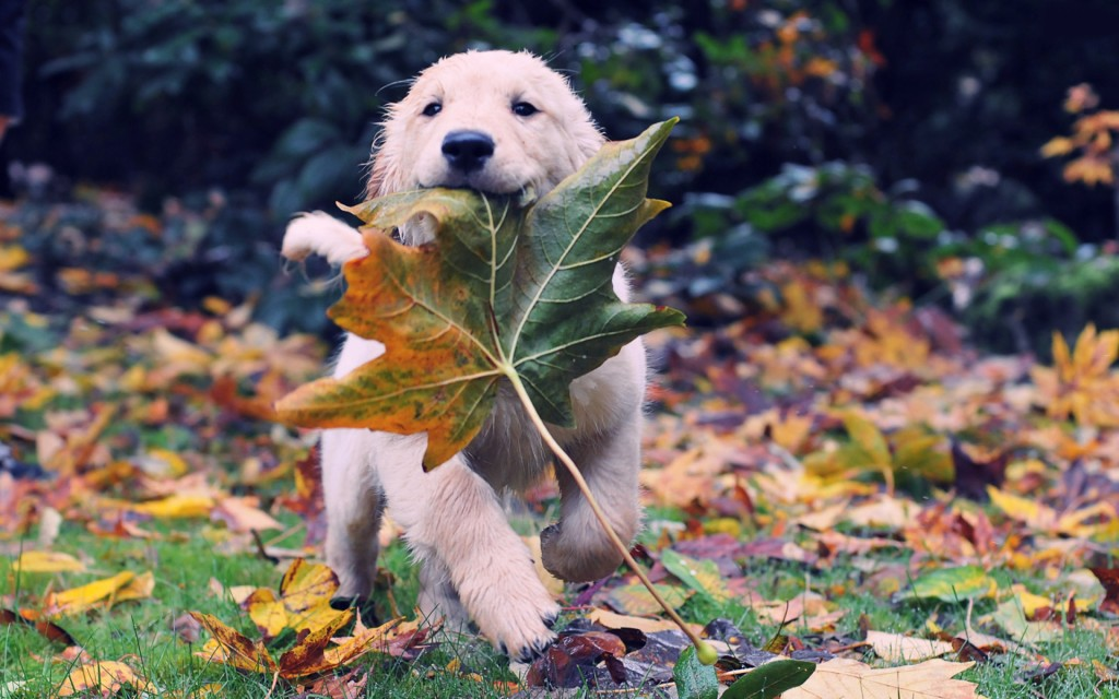 cute-labrador-pictures-23503-24155-hd-wallpapers