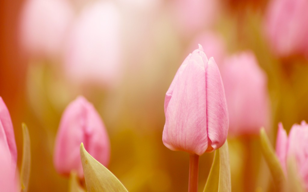 fantastic-pink-macro-wallpaper-37853-38720-hd-wallpapers