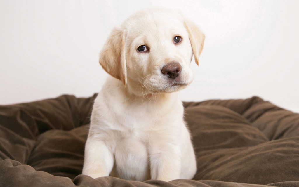 free-labrador-wallpaper-23486-24138-hd-wallpapers