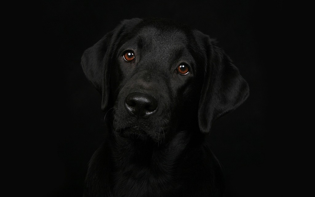 labrador-wallpaper-23482-24134-hd-wallpapers