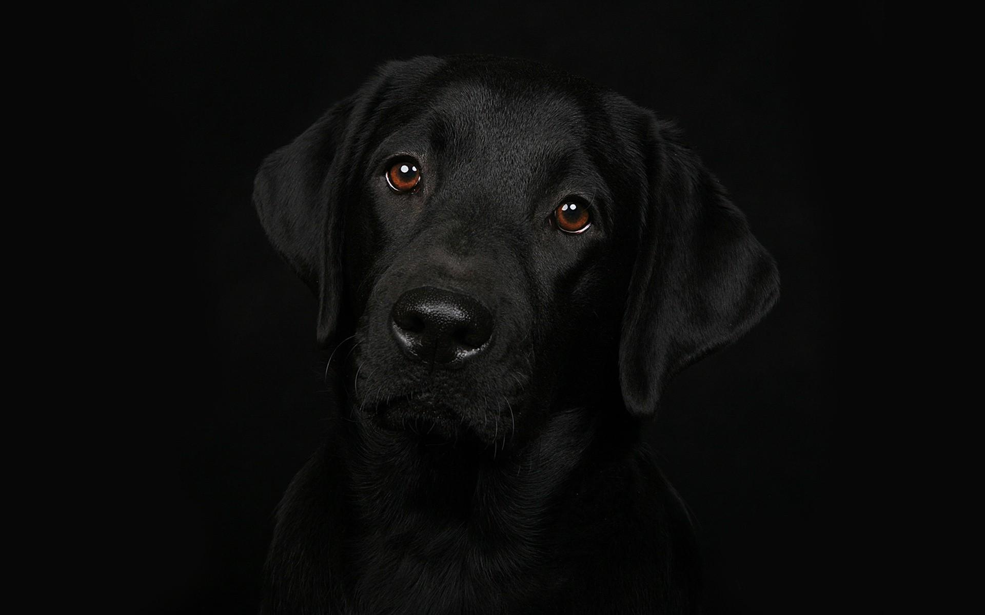 12 Fantastic HD Labrador Wallpapers