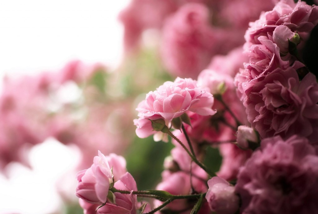 15 gorgeous hd roses wallpapers - Pink roses background hd ...