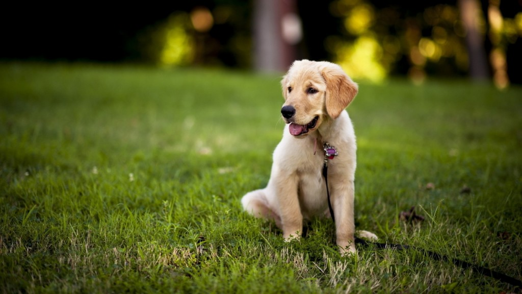 puppy-labrador-23507-24159-hd-wallpapers