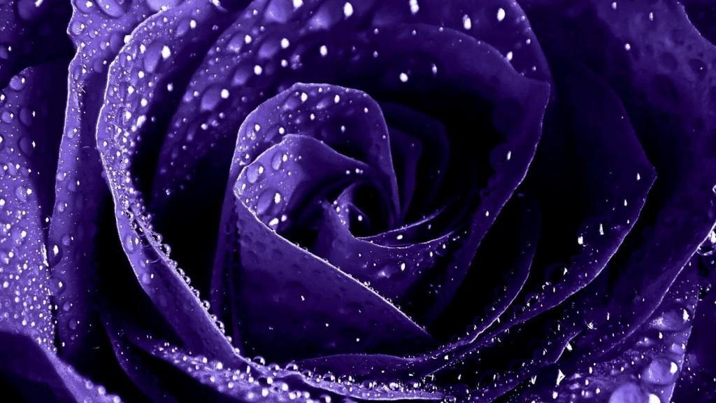 purple-roses-wallpaper-29513-30232-hd-wallpapers