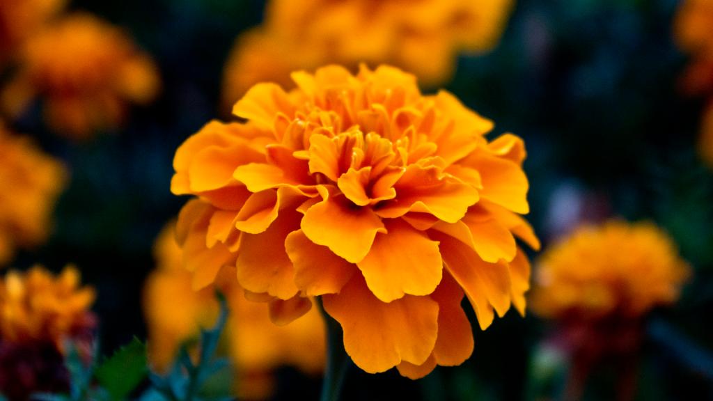 amazing-orange-flowers-19336-19826-hd-wallpapers.jpg