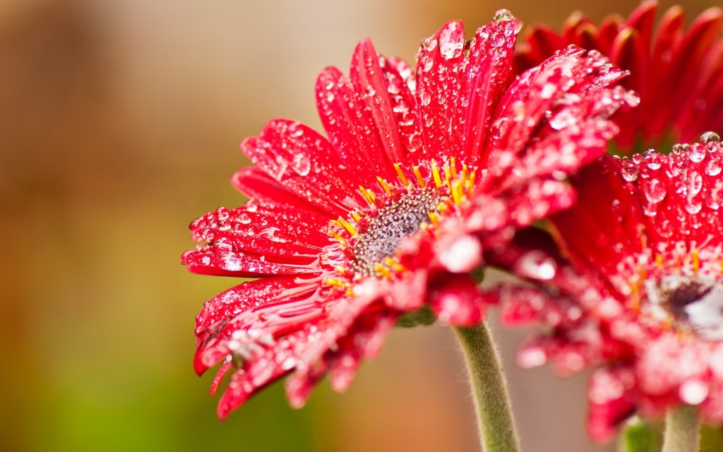 beautiful-red-daisies-30202-30919-hd-wallpapers