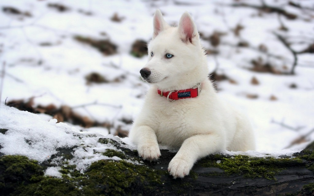 beautiful-white-husky-wallpaper-39655-40572-hd-wallpapers