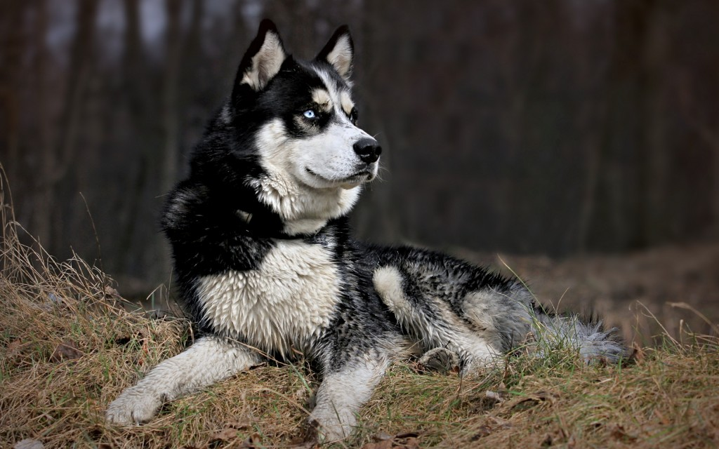 fantastic-husky-wallpaper-43724-44802-hd-wallpapers
