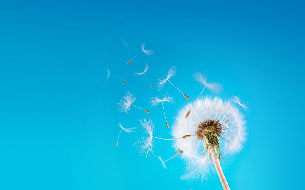 flying-dandelion-seeds-wallpaper-42644-43655-hd-wallpapers