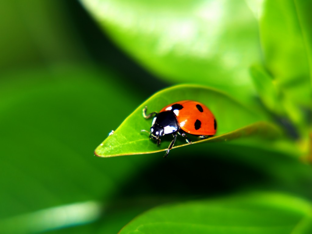 free-ladybug-wallpaper-43698-44768-hd-wallpapers