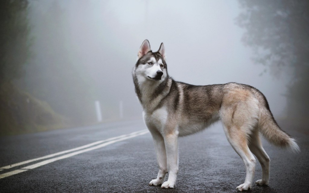 husky-hd-40914-41874-hd-wallpapers