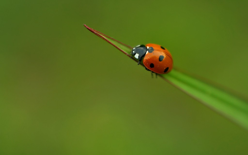ladybug-wallpaper-43699-44769-hd-wallpapers