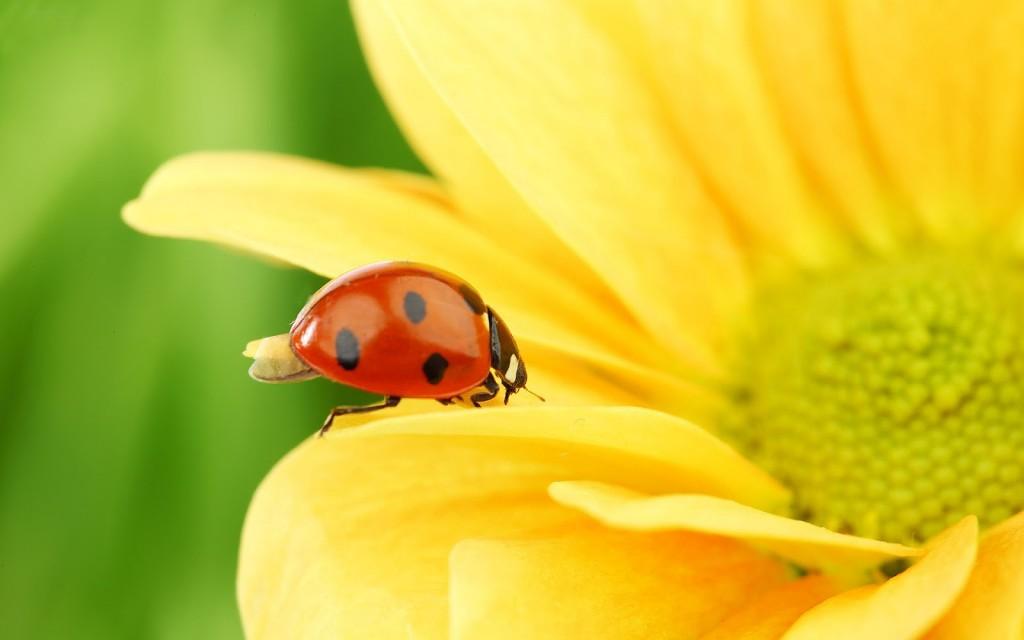 ladybugs-15644-16123-hd-wallpapers