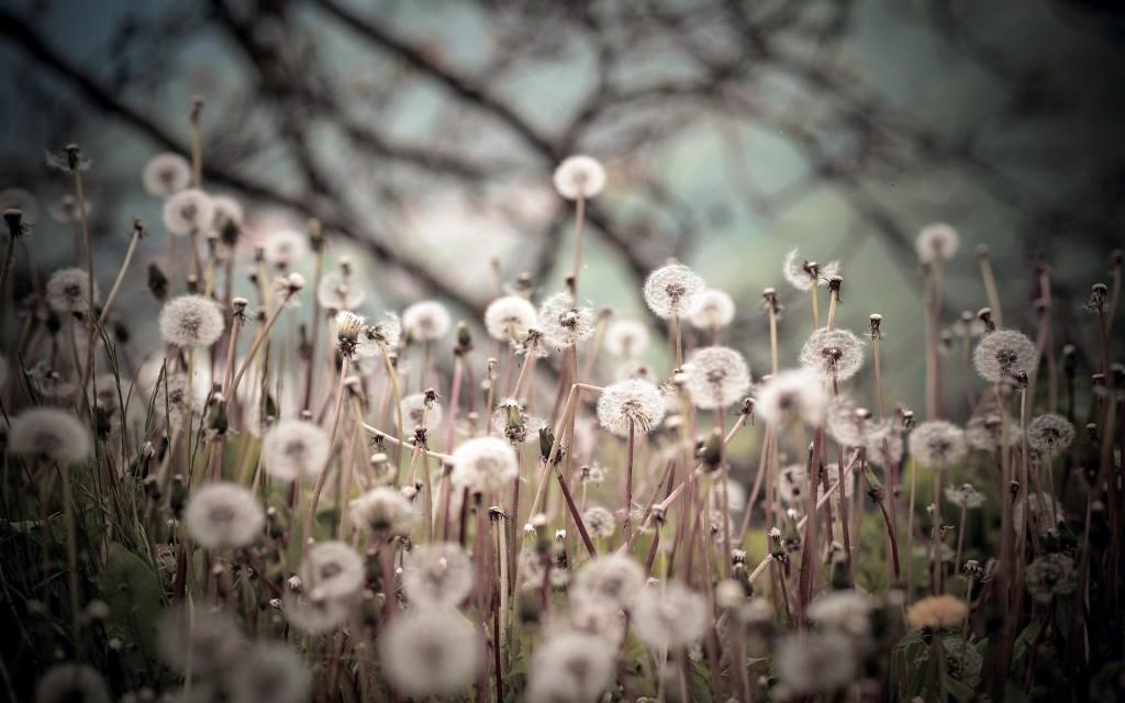 lovely-dandelion-seeds-wallpaper-42637-43648-hd-wallpapers