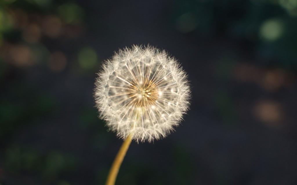 pretty-dandelion-seeds-wallpaper-42640-43651-hd-wallpapers