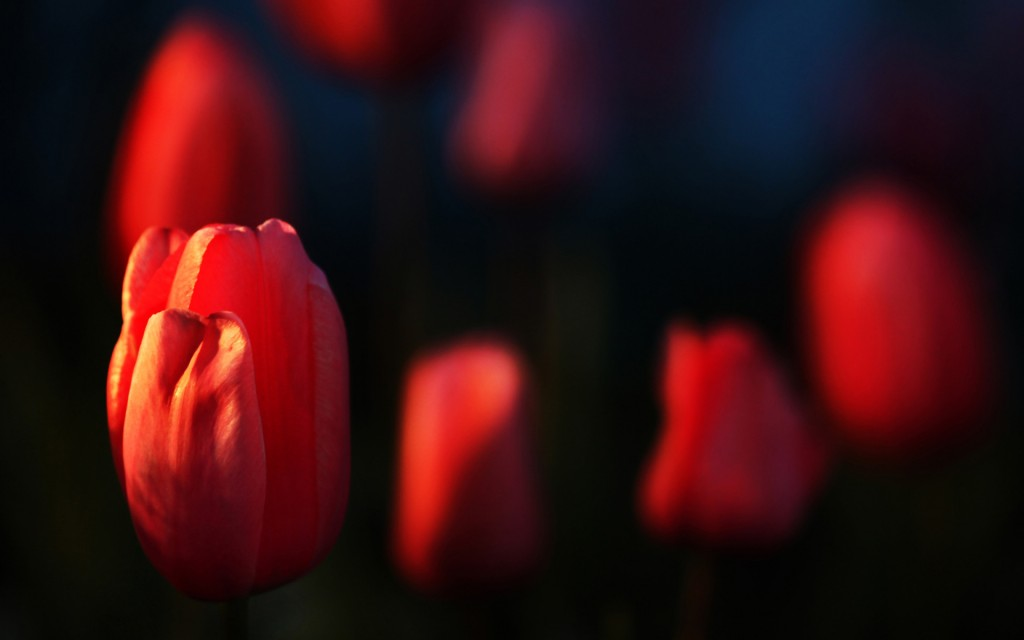 pretty-red-macro-wallpaper-37670-38534-hd-wallpapers
