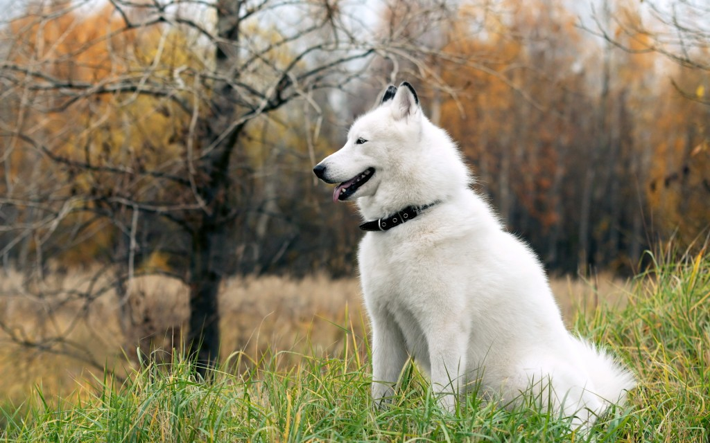 siberian-husky-20780-21317-hd-wallpapers